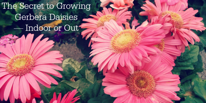 The Secret to Growing Gerbera Daisies — Indoor or Out